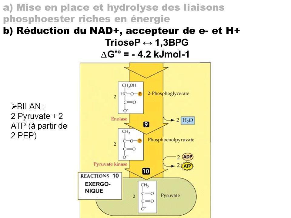a) Mise en place et hydrolyse des liaisons phosphoester riches en énergie b) Réduction du NAD+, accepteur de e- et H+ TrioseP 1,3BPG G'° = - 4.2 kJmol
