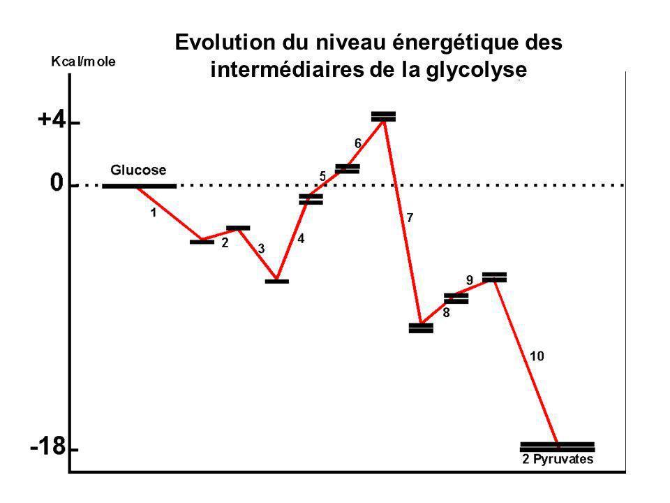 Evolution du niveau énergétique des intermédiaires de la glycolyse