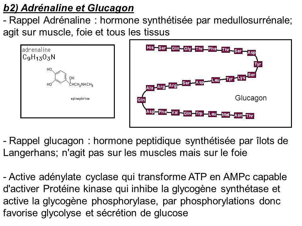 b2) Adrénaline et Glucagon - Rappel Adrénaline : hormone synthétisée par medullosurrénale; agit sur muscle, foie et tous les tissus - Rappel glucagon
