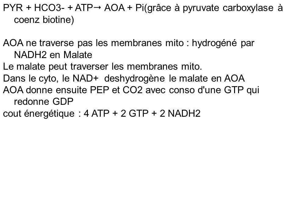 PYR + HCO3- + ATP AOA + Pi(grâce à pyruvate carboxylase à coenz biotine) AOA ne traverse pas les membranes mito : hydrogéné par NADH2 en Malate Le mal