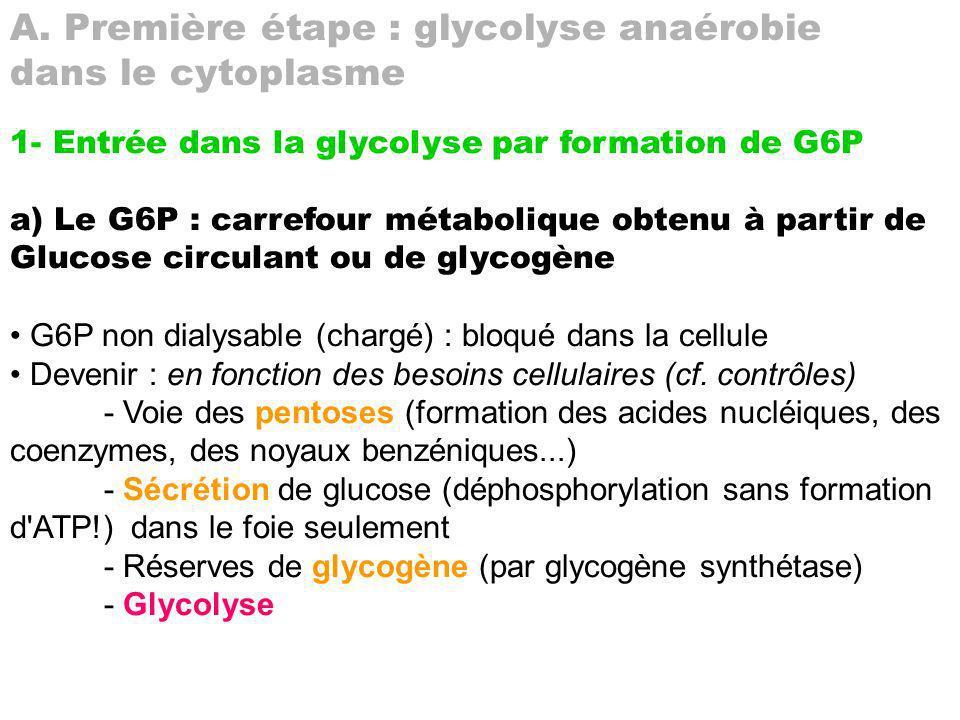a) Régulations par facteurs cytoplasmiques a1) En fonction de [Glu] extracellulaire glycolyse dans foie (glucokinase pas à vmax) puis la glycogénogenèse a2) En fonction de [Pi] - inhibition de glucokinase par Pi : favorise un peu glycolyse (et formation de 1,3-BPG par deshydrogénase) et beaucoup sécrétion de glucose par le foie a3) En fonction du rapport ATP/AMP : joue sur F6P/F16dP - ATP inhibe fructokinase (F6P F16dP) et active F16dPphosphatase favorise formation de F6P - AMP inhibe F16dPphosphatase et active fructokinase formation de F16dP a4) En fonction de PO2 - Inhibe deshydrogénase (par oxydation) - Amorce voie des pentoses (à partir de G6P) détourne la glycolyse (évite engorgement des mitochondries indirectement) - Favorise respiration mitochondriale ce qui tire Pyr (aspire indirectement glycolyse) donc désengormge mitochondries