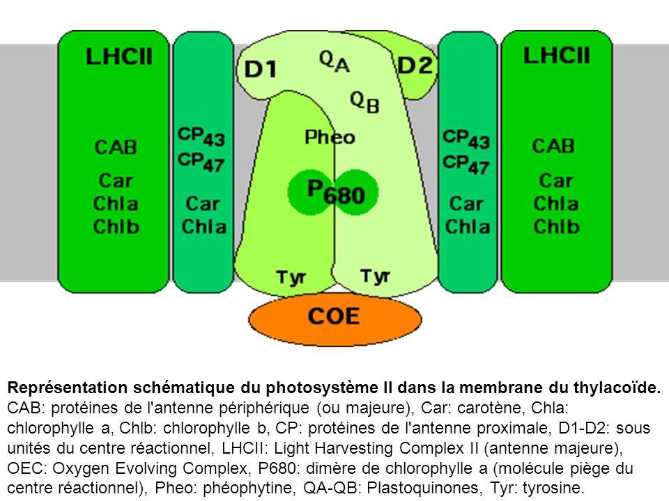Représentation schématique du photosystème II dans la membrane du thylacoïde. CAB: protéines de l'antenne périphérique (ou majeure), Car: carotène, Ch