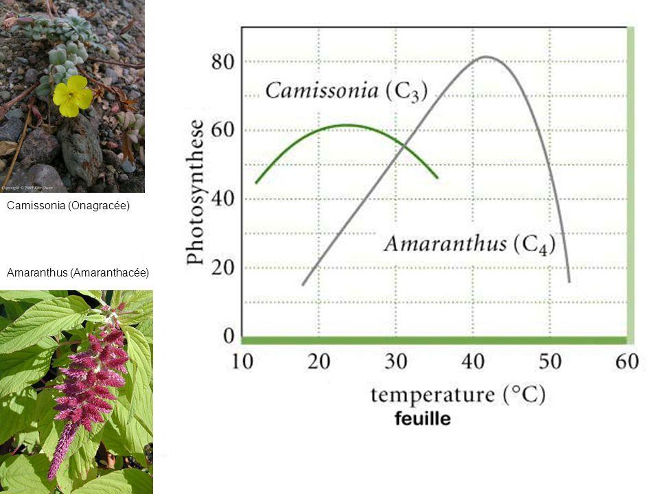 Camissonia (Onagracée) Amaranthus (Amaranthacée)