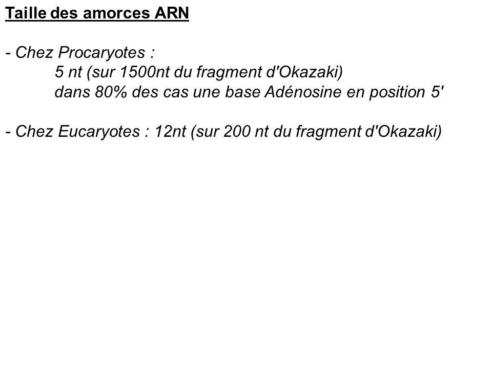 Taille des amorces ARN - Chez Procaryotes : 5 nt (sur 1500nt du fragment d'Okazaki) dans 80% des cas une base Adénosine en position 5' - Chez Eucaryot