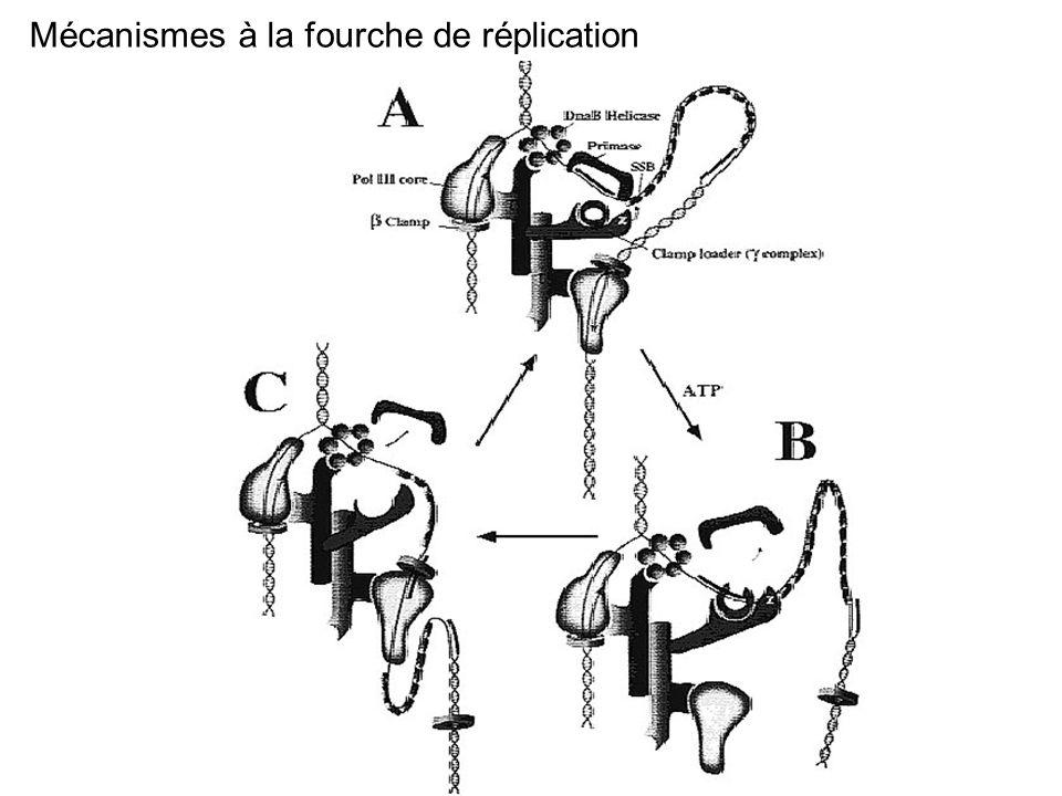 Mécanismes à la fourche de réplication