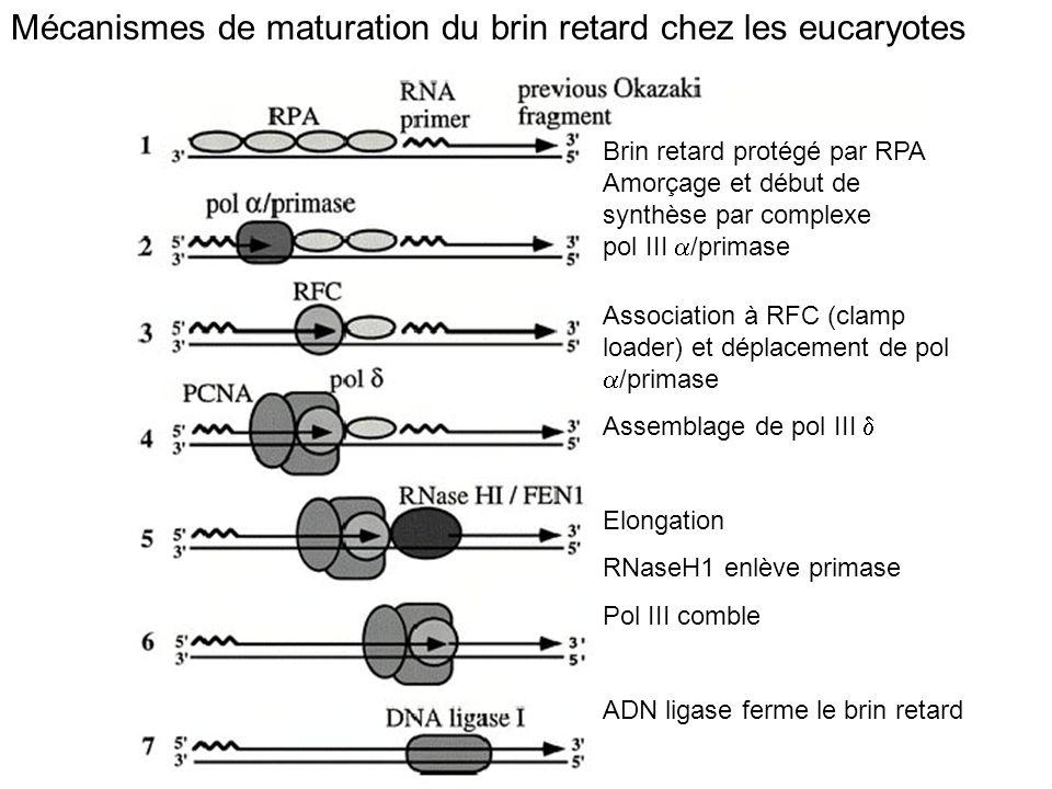 Mécanismes de maturation du brin retard chez les eucaryotes Brin retard protégé par RPA Amorçage et début de synthèse par complexe pol III /primase As