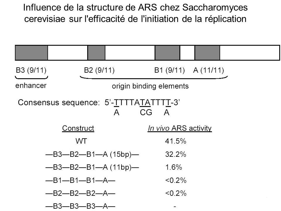 Influence de la structure de ARS chez Saccharomyces cerevisiae sur l'efficacité de l'initiation de la réplication