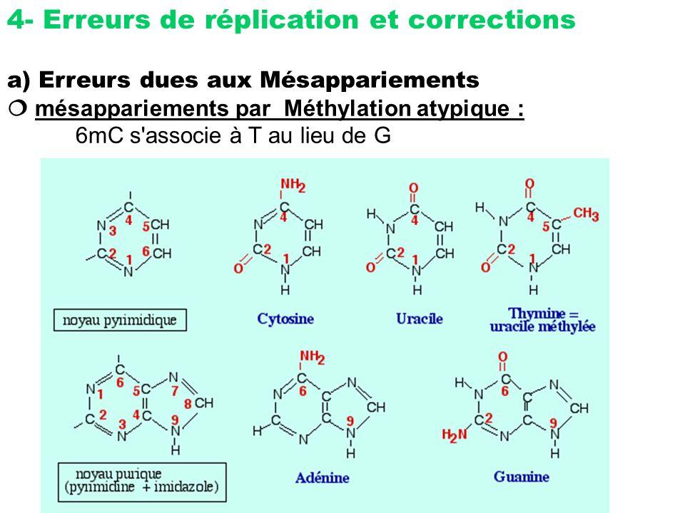 4- Erreurs de réplication et corrections a) Erreurs dues aux Mésappariements mésappariements par Méthylation atypique : 6mC s'associe à T au lieu de G