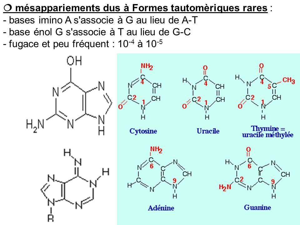 mésappariements dus à Formes tautomèriques rares : - bases imino A s'associe à G au lieu de A-T - base énol G s'associe à T au lieu de G-C - fugace et