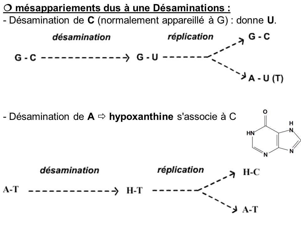 mésappariements dus à une Désaminations : - Désamination de C (normalement appareillé à G) : donne U. - Désamination de A hypoxanthine s'associe à C
