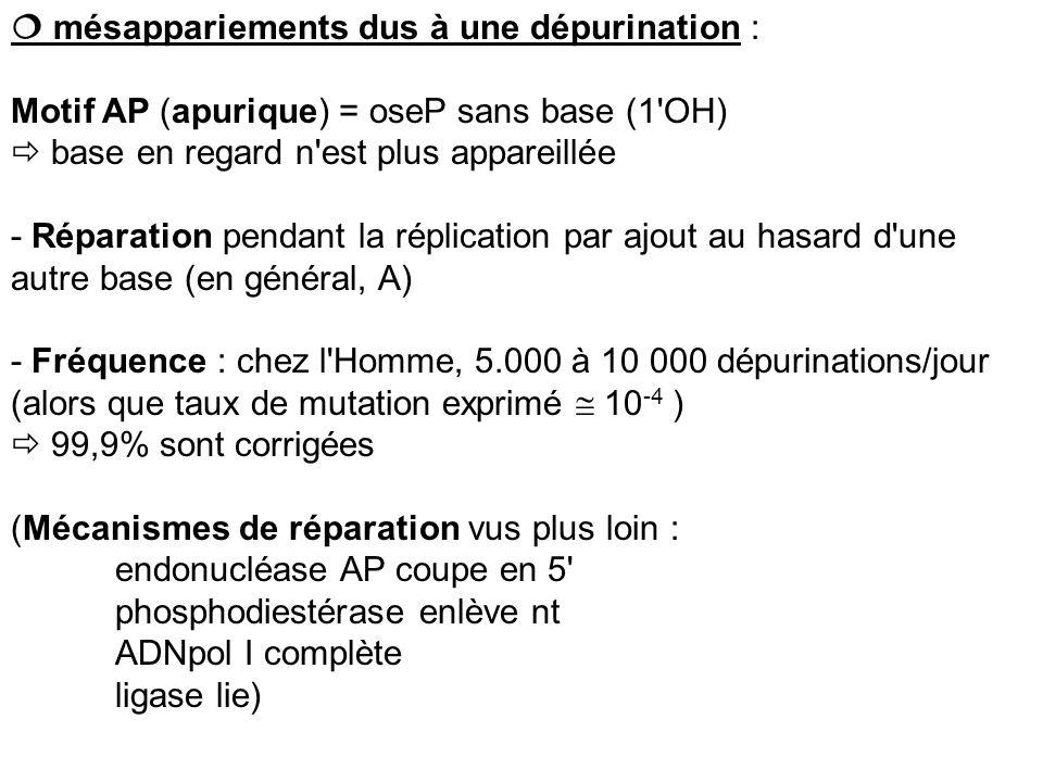 mésappariements dus à une dépurination : Motif AP (apurique) = oseP sans base (1'OH) base en regard n'est plus appareillée - Réparation pendant la rép