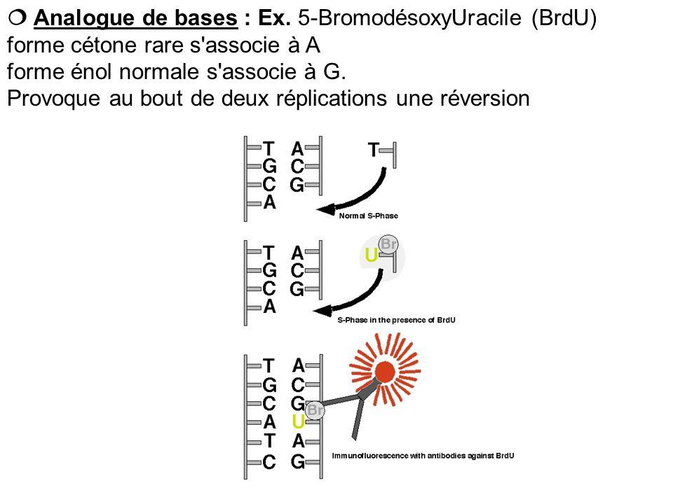 Analogue de bases : Ex. 5-BromodésoxyUracile (BrdU) forme cétone rare s'associe à A forme énol normale s'associe à G. Provoque au bout de deux réplica