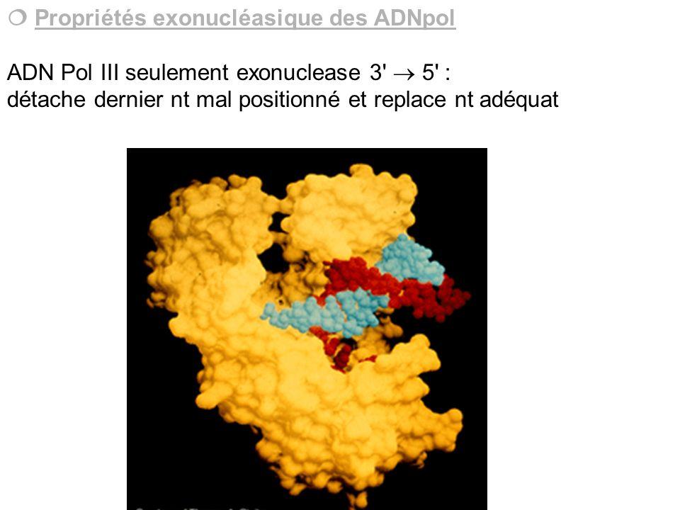 Propriétés exonucléasique des ADNpol ADN Pol III seulement exonuclease 3' 5' : détache dernier nt mal positionné et replace nt adéquat
