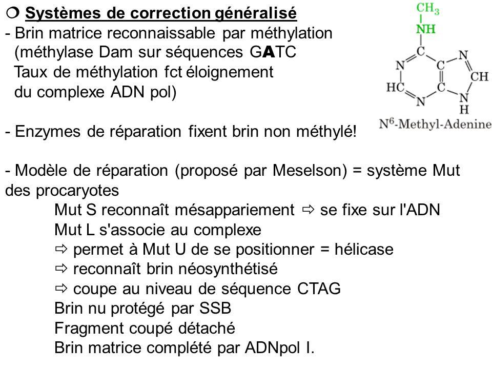 Systèmes de correction généralisé - Brin matrice reconnaissable par méthylation (méthylase Dam sur séquences G A TC Taux de méthylation fct éloignemen