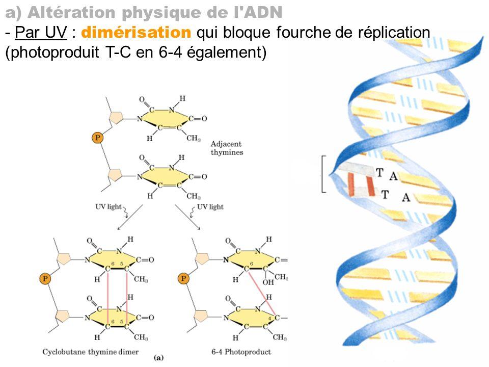 a) Altération physique de l'ADN - Par UV : dimérisation qui bloque fourche de réplication (photoproduit T-C en 6-4 également)