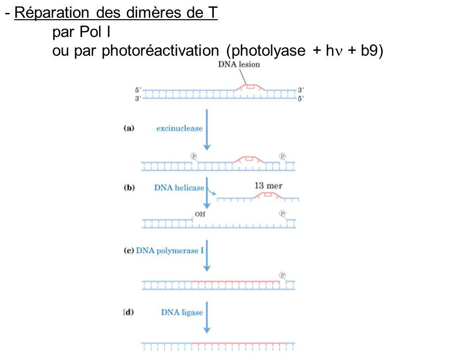 - Réparation des dimères de T par Pol I ou par photoréactivation (photolyase + h + b9)