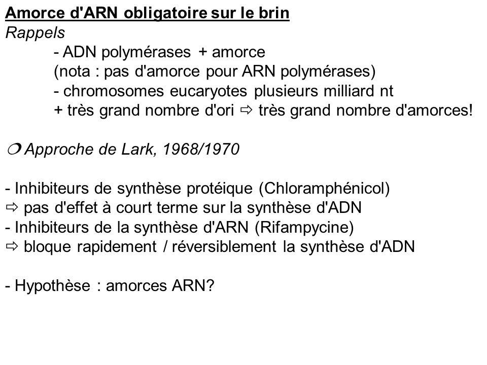 Amorce d'ARN obligatoire sur le brin Rappels - ADN polymérases + amorce (nota : pas d'amorce pour ARN polymérases) - chromosomes eucaryotes plusieurs