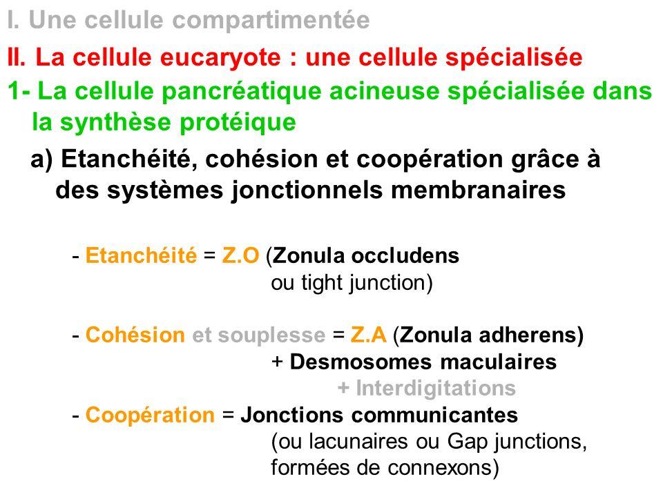 I. Une cellule compartimentée II. La cellule eucaryote : une cellule spécialisée 1- La cellule pancréatique acineuse spécialisée dans la synthèse prot