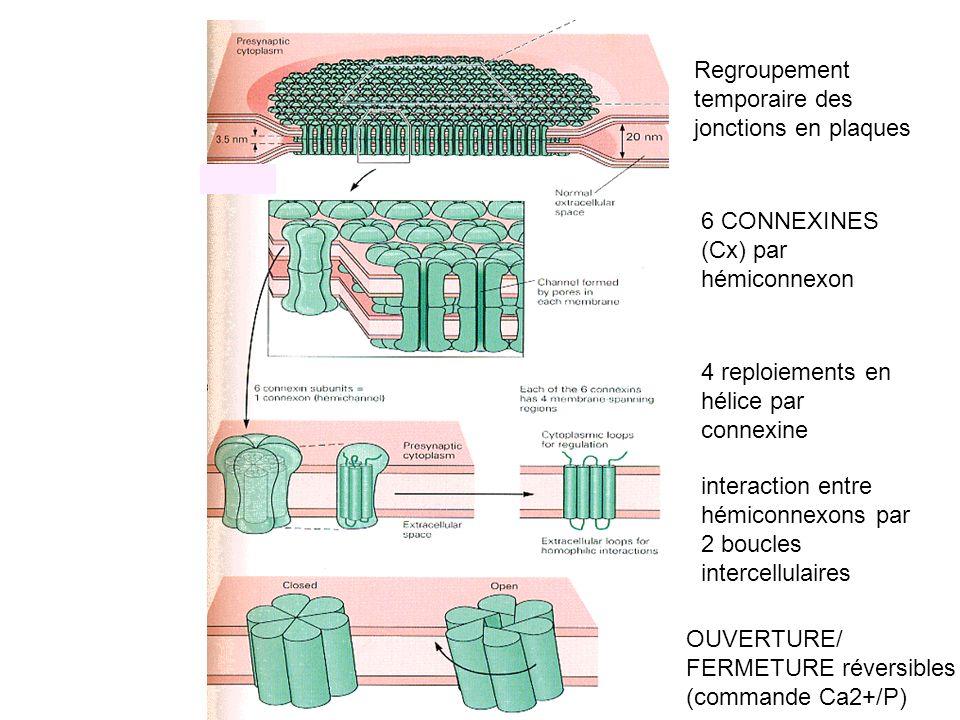 Regroupement temporaire des jonctions en plaques OUVERTURE/ FERMETURE réversibles (commande Ca2+/P) 6 CONNEXINES (Cx) par hémiconnexon 4 reploiements