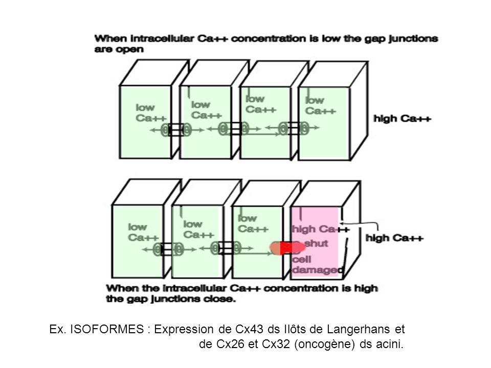 Ex. ISOFORMES : Expression de Cx43 ds Ilôts de Langerhans et de Cx26 et Cx32 (oncogène) ds acini.