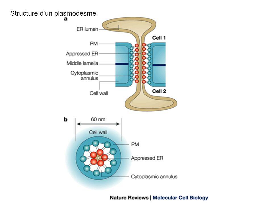 Structure d'un plasmodesme