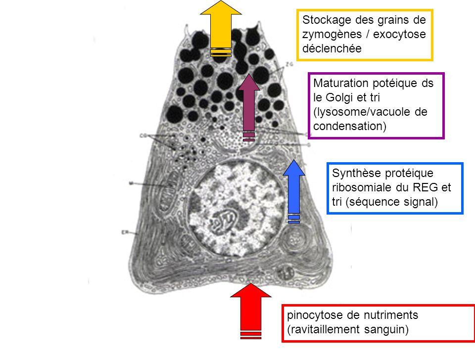 pinocytose de nutriments (ravitaillement sanguin) Synthèse protéique ribosomiale du REG et tri (séquence signal) Maturation potéique ds le Golgi et tr