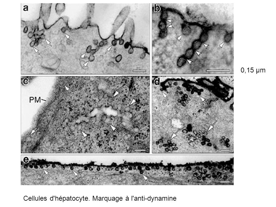 Cellules d'hépatocyte. Marquage à l'anti-dynamine 0,15 µm
