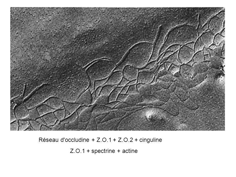 Réseau d'occludine + Z.O.1 + Z.O.2 + cinguline Z.O.1 + spectrine + actine