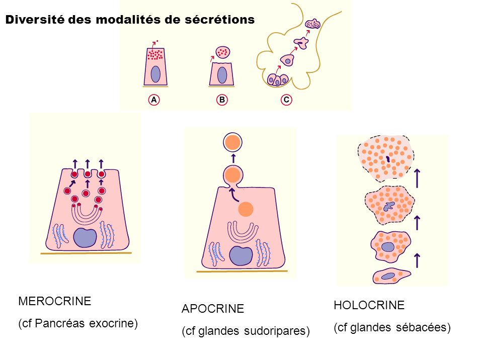 Diversité des modalités de sécrétions MEROCRINE (cf Pancréas exocrine) APOCRINE (cf glandes sudoripares) HOLOCRINE (cf glandes sébacées)