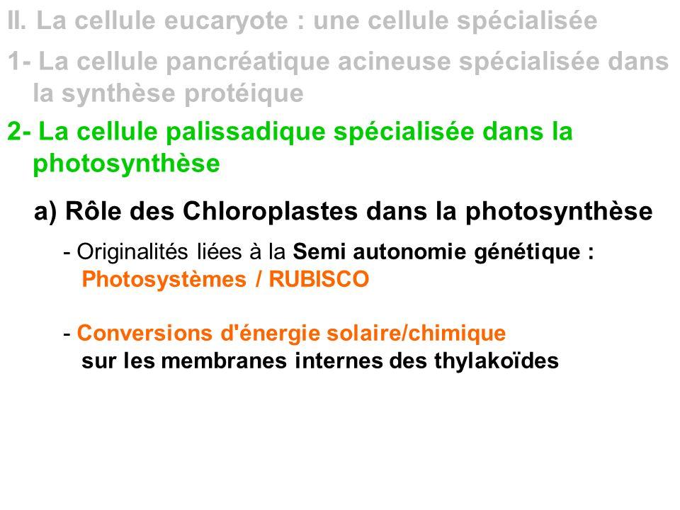 II. La cellule eucaryote : une cellule spécialisée 1- La cellule pancréatique acineuse spécialisée dans la synthèse protéique 2- La cellule palissadiq
