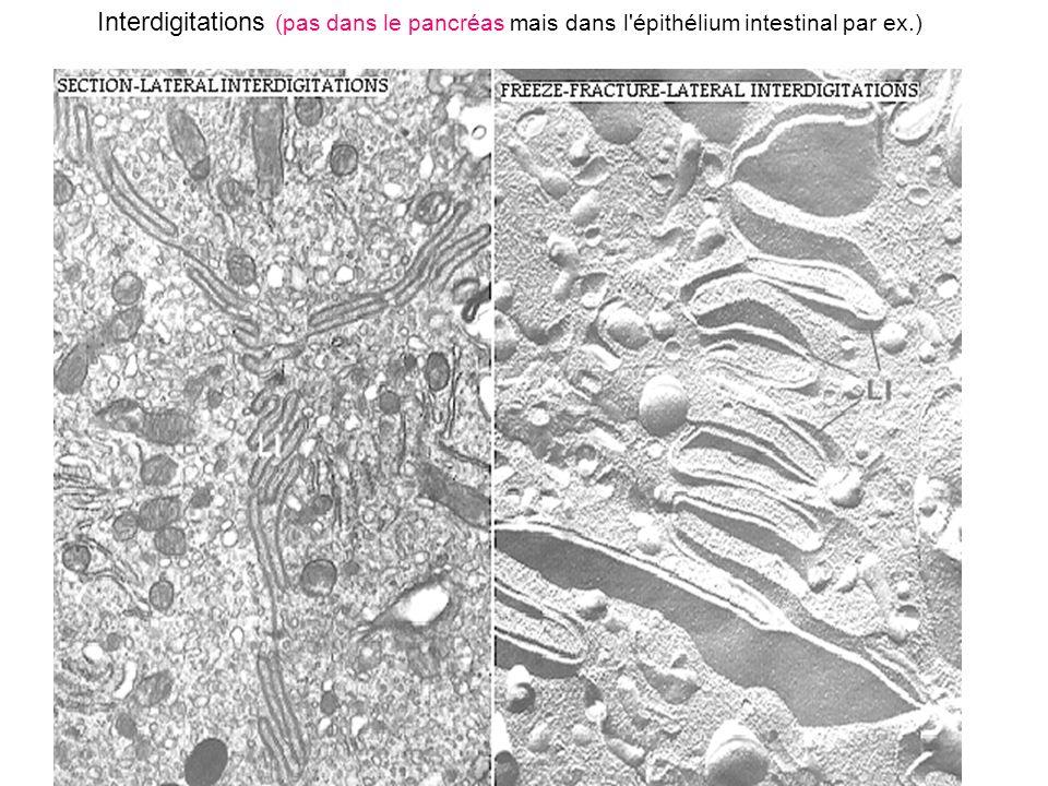 ZO plasmodesme membranes plasmiques des cellules 1 et 2 paroi pectocellulosique lamelle moyenne Des communications directes également chez les végétaux.