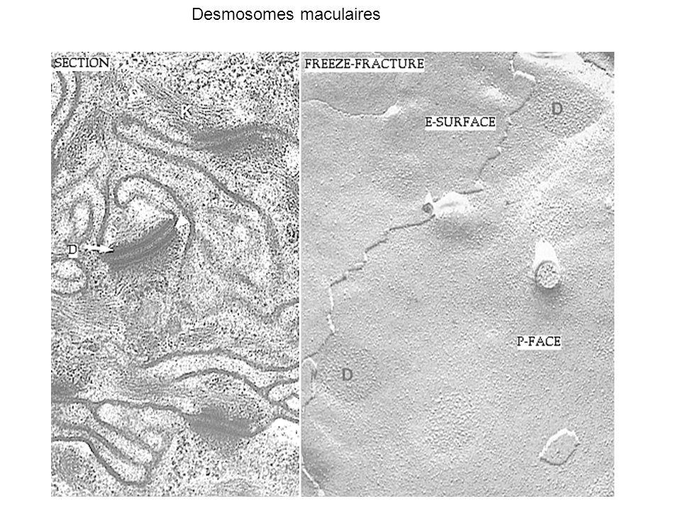 Structure d un plasmodesme