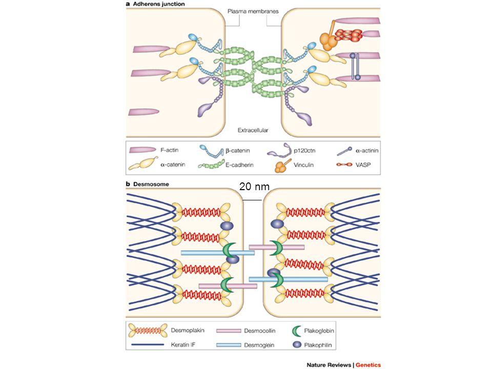 Ex de Phagocytose