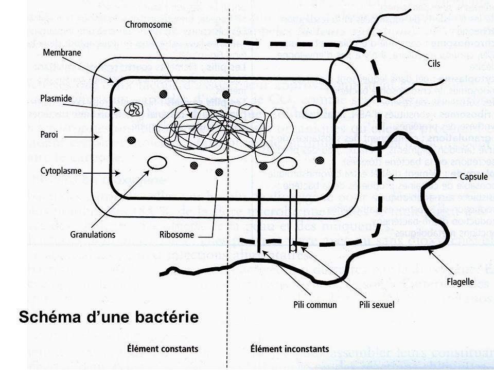 Schéma dune bactérie