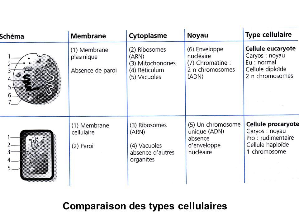 3- Classification contemporaine Les plantes, eucaryotes Les animaux, métazoaires eucaryotes Les protistes supérieurs eucaryotes, les protistes inférieurs procaryotes Les virus