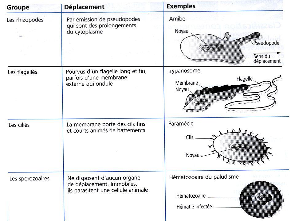 2- Les champignons 2 catégories déterminées par leur forme