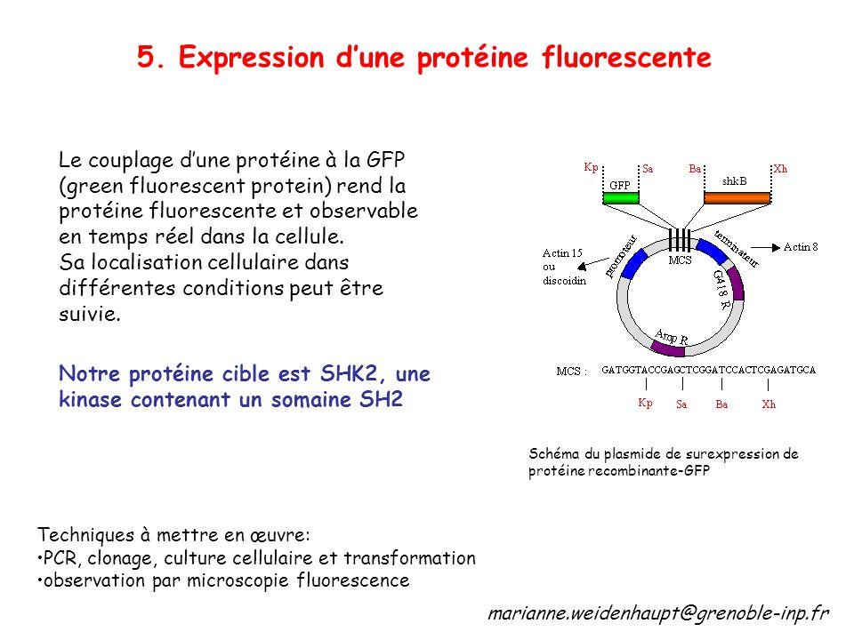 5. Expression dune protéine fluorescente Le couplage dune protéine à la GFP (green fluorescent protein) rend la protéine fluorescente et observable en