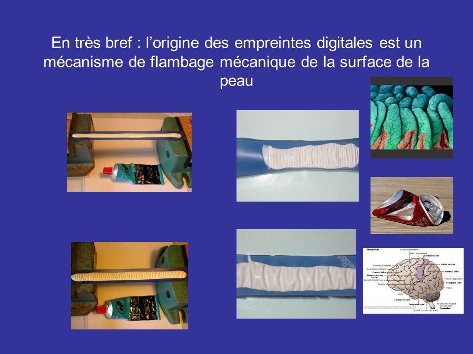 En très bref : lorigine des empreintes digitales est un mécanisme de flambage mécanique de la surface de la peau