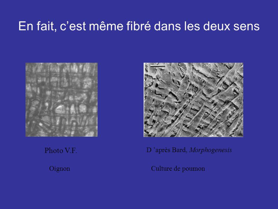 En fait, cest même fibré dans les deux sens Photo V.F. D après Bard, Morphogenesis OignonCulture de poumon