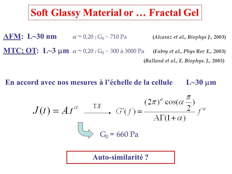 AFM: L~30 nm ~ 0,20 ; G 0 ~ 710 Pa ( Alcaraz et al., Biophys J., 2003 ) MTC; OT: L~3 m ~ 0,20 ; G 0 ~ 300 à 3000 Pa ( Fabry et al., Phys Rev E., 2003