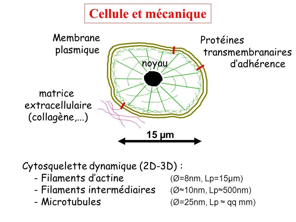 Appliquer à la cellule une contrainte contrôlée et déterminer sa: Réponse mécanique Mesure de déformation (fluage) Détermination du module viscoélastique Avec collaborations Réponse structurale visualisation du cytosquelette par fluorescence Réponse biochimique (génétique) suivi de marqueurs dactivité protéique ou génétique Propriétés passives