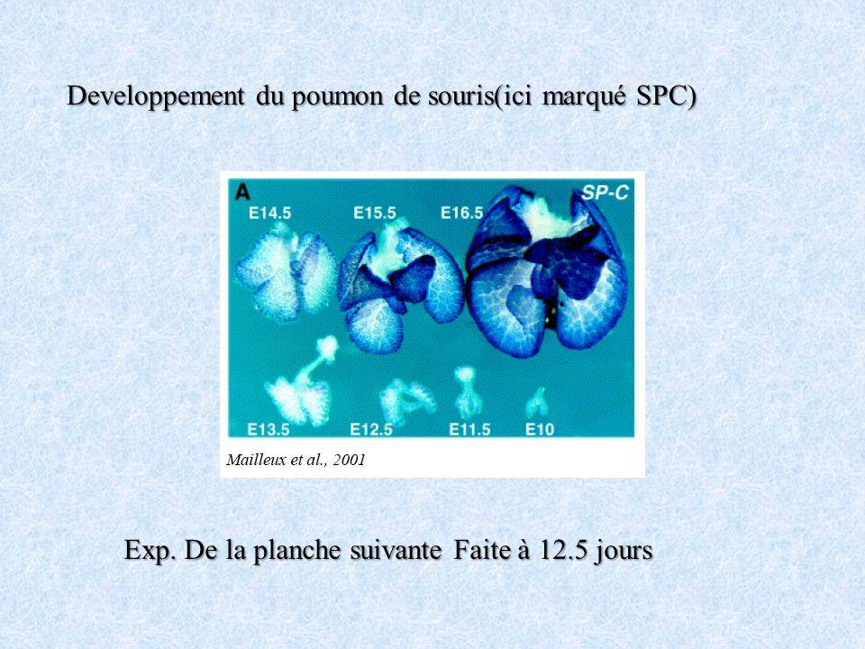 Developpement du poumon de souris(ici marqué SPC) Exp. De la planche suivante Faite à 12.5 jours