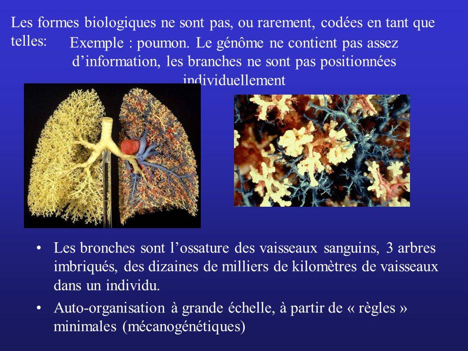 Exemple : poumon. Le génôme ne contient pas assez dinformation, les branches ne sont pas positionnées individuellement Les bronches sont lossature des