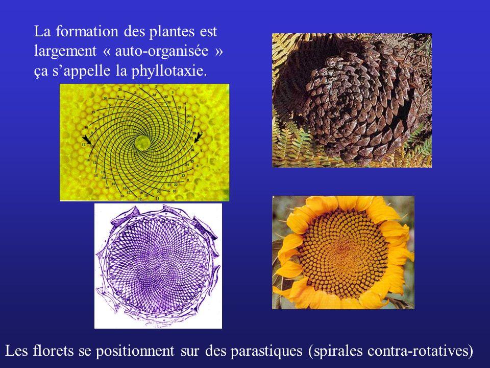 La formation des plantes est largement « auto-organisée » ça sappelle la phyllotaxie. Les florets se positionnent sur des parastiques (spirales contra