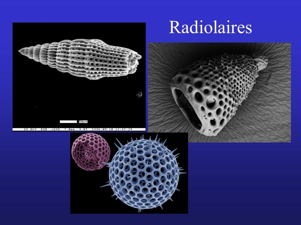 Radiolaires