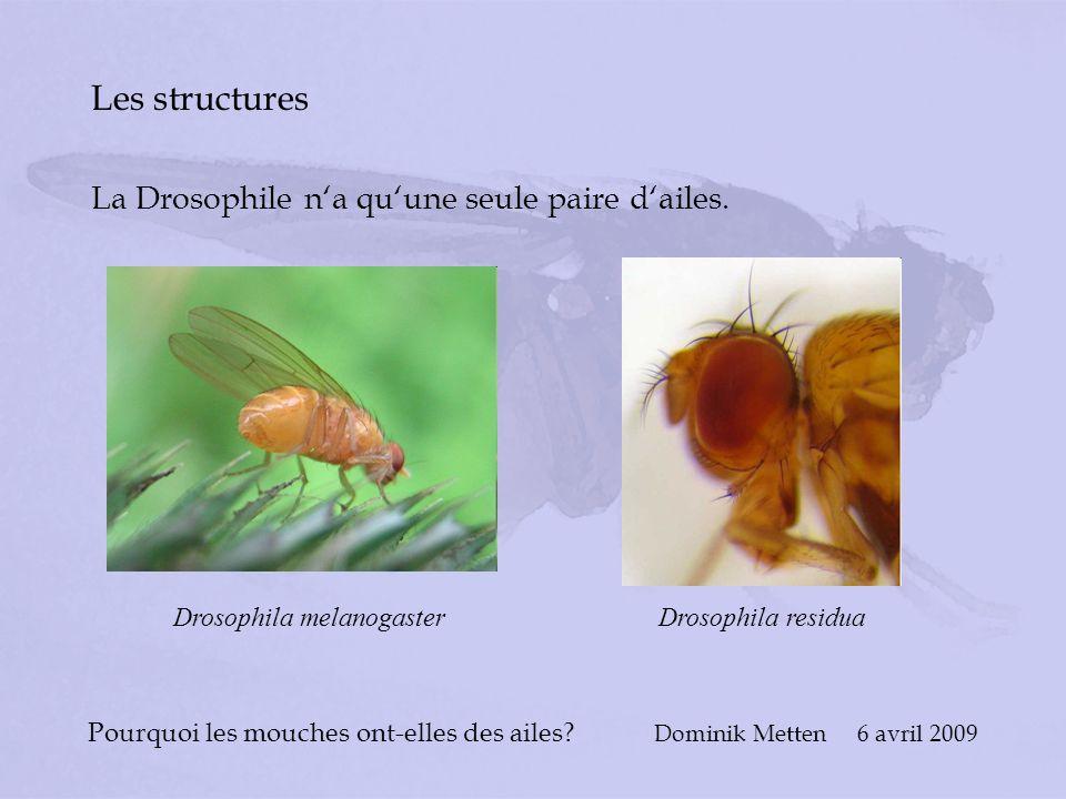 Pourquoi les mouches ont-elles des ailes? Dominik Metten 6 avril 2009 Les structures La Drosophile na quune seule paire dailes. Drosophila melanogaste