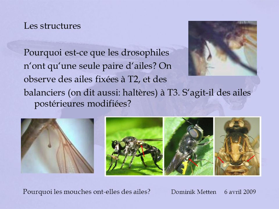 Pourquoi les mouches ont-elles des ailes? Dominik Metten 6 avril 2009 Les structures Pourquoi est-ce que les drosophiles nont quune seule paire dailes