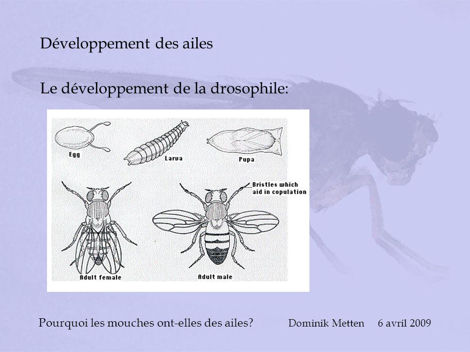 Pourquoi les mouches ont-elles des ailes? Dominik Metten 6 avril 2009 Développement des ailes Le développement de la drosophile: