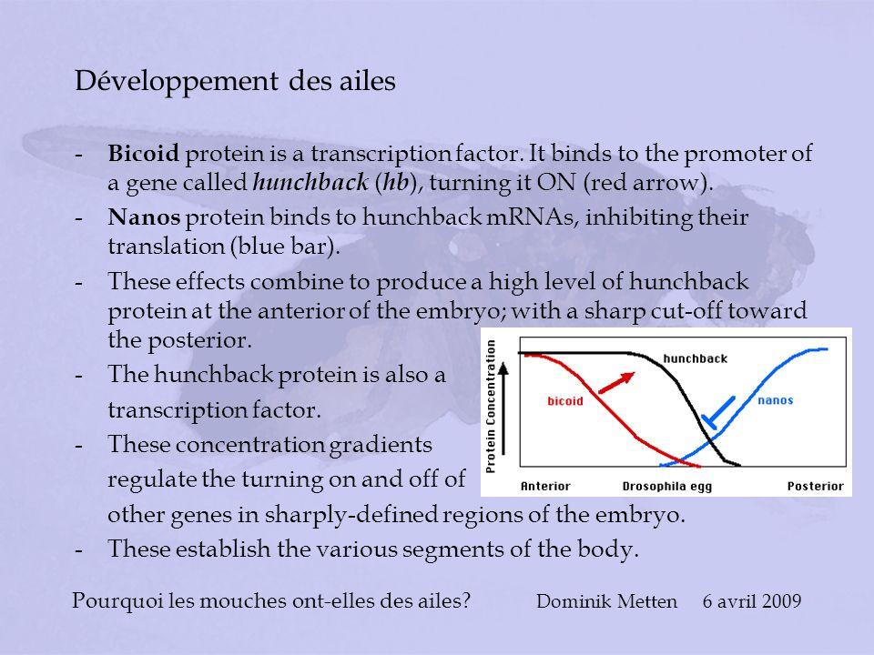 Pourquoi les mouches ont-elles des ailes? Dominik Metten 6 avril 2009 Développement des ailes - Bicoid protein is a transcription factor. It binds to