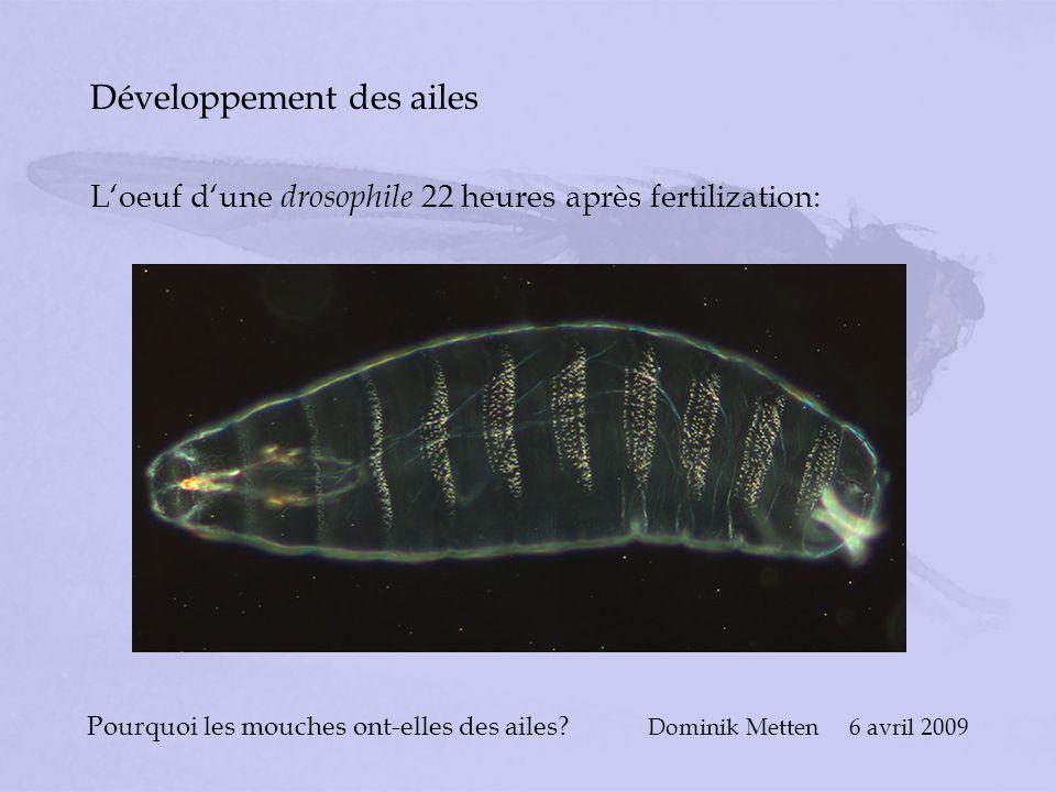 Pourquoi les mouches ont-elles des ailes? Dominik Metten 6 avril 2009 Développement des ailes Loeuf dune drosophile 22 heures après fertilization: